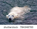 the polar bear  ursus maritimus ... | Shutterstock . vector #784348783