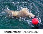the polar bear  ursus maritimus ...   Shutterstock . vector #784348807