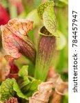 sarracenia  carnivorous plant   Shutterstock . vector #784457947