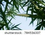 marijuana tree hemp
