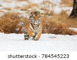 siberian tiger  panthera tigris ... | Shutterstock . vector #784545223