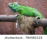 green iguana on a branch  | Shutterstock . vector #784582123
