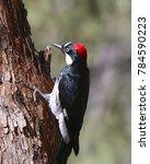 Small photo of Acorn Woodpecker (female)