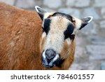Cameroon Sheep  Ovis Ammon F....