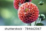 isolated red dahlia flower... | Shutterstock . vector #784662067