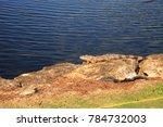 green iguana  scientifically... | Shutterstock . vector #784732003