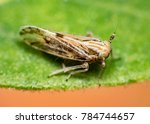 tiny small hooper on green leaf ... | Shutterstock . vector #784744657