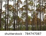 Tall trees and forest in Apalachicola, Florida.