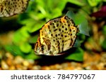 Small photo of Scatophagus argus, spotted scat, Green scats or Argusfishes is a species of fish in the scat family Scatophagidae.