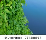 green leafs and blue water | Shutterstock . vector #784888987