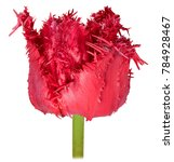 Small photo of one dissolute flower Bud Terry Tulip red close-up isolated on white