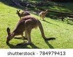 australia kangaroos wildlife | Shutterstock . vector #784979413