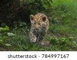 three month old amur leopard ... | Shutterstock . vector #784997167
