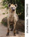 spotted hyena  crocuta crocuta  ... | Shutterstock . vector #784998643