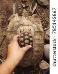 baby tortoise on the hands of... | Shutterstock . vector #785143867