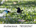 Magpie Standing On The Grass