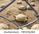 african tortoise in corral  as... | Shutterstock . vector #785196283
