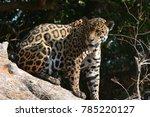 jaguar sitting on trunk ... | Shutterstock . vector #785220127