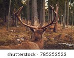 Stag standing in the middle of the woods at Hohe Wand/Lower Austria and watching two other stags fighting