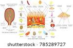 skin anatomy diagram. sensory... | Shutterstock .eps vector #785289727