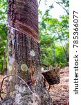 Small photo of Tapping latex from a rubber tree (Hevea Brasiliensis) in tropical forest
