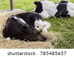 Close Up Of Cow Sleeping On Dr...