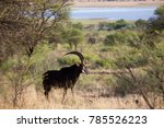 Male Sable Antelope  Standing...