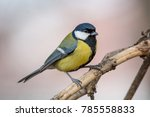 the great tit  parus major  is... | Shutterstock . vector #785558833