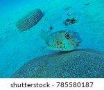 A Porcupine Fish Underwater...