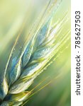 Fresh Young Wheat Ear In The...
