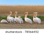 white pelicans in the danube... | Shutterstock . vector #78566452