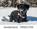 Cute Labrador Dog Having Fun I...