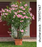 nice pink oleander in the garden | Shutterstock . vector #785957467