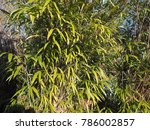 Bamboo  Bambuseae  Tree Leaves...
