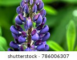 the lupine flower growing on a... | Shutterstock . vector #786006307