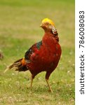 Small photo of Beautiful Golden Pheasant (Chrysolophus pictus)