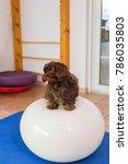 havanese sits on a balance ball ... | Shutterstock . vector #786035803
