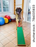 leonberger dog sits on a seesaw ... | Shutterstock . vector #786035833