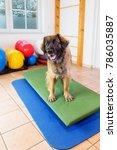 leonberger stands leonberger... | Shutterstock . vector #786035887