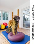 picture of a leonberger who... | Shutterstock . vector #786035917