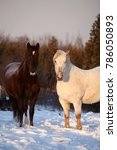 Small photo of A brown and a white horse stand outdoors in the winter sunset with snow all around