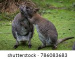 Kangaroo Sharing Some Secret  ...