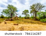 Mopane Trees And Trees Knocked...
