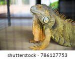 big iguana in the cage  | Shutterstock . vector #786127753