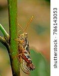 grasshopper on leaf | Shutterstock . vector #786143053