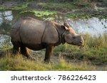 juvenile greater one horned... | Shutterstock . vector #786226423