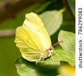 Small photo of Common brimstone (Gonepteryx rhamni) on prune leaf (Prunus) - diagonal front view