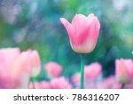 pink flower tulip lit by... | Shutterstock . vector #786316207