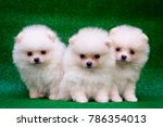 Stock photo funny puppies on a green background puppies of the spitz christmas card with dogs 786354013