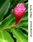Small photo of Close-up Of A Beautiful Tropical Red Ginger (Alpinia Purpurata) Flower